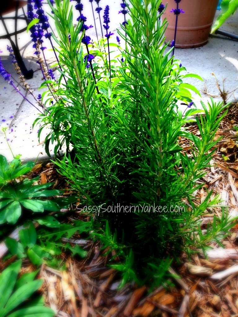 Looking for a quick and easy holiday gift? This Rosemary Infused Sea Salt is the perfect homemade gift that everyone can use. Quick, easy and inexpensive. 5
